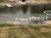 Pelicans at Beaver Lake