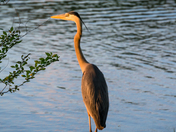Tanned Heron