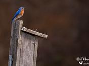 Mr Bluebird