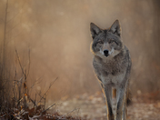 Coyote First Light