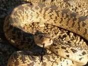 Bull snake closeup