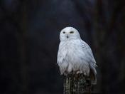 Rainy Day Snowy Owl