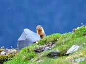 Mountain Marmot