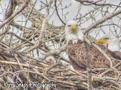 Eagles and Eaglet