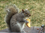 Gray Squirrel Enjoying an Apple Slice