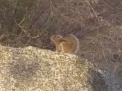 Antelope squirrel on the boulder