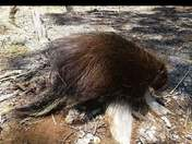 Porcupine on a tree stump