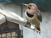 Northern Flicker Visits Our Feeder
