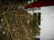 ice-laden spruce tree blown onto our house