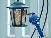 Beautiful BlueJay made my day today.