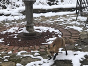 Baby Foxes enjoying Second Winter