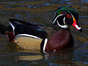 Male Wood Ducks