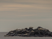 Bay Of Fundy Harbour Seals