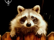 Rocky the Raccoon stopped back by! The whole crew of them visit nightly. My Back