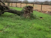 My beautiful weeping willow tree heavy wind uprooted