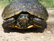 Eye to eye with a red eared slider turtle