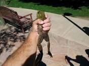 Caught a monster bull frog bare handed