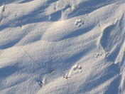 Close-up of small dog paw prints or tracks in snow near Arviat