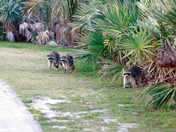 Racoons at Ponce Inlet