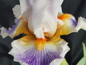 This is an Iris that is blooming at my parent's house in Alamogordo.