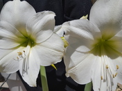 These are Amaryllis blooms that I have growing at my house in Alamogordo, NM.