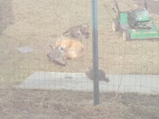 Littleton backyard fox family