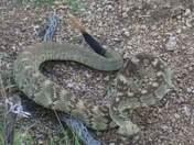 Angry three foot long black tail rattlesnake rattling at me