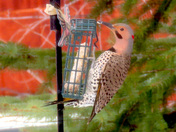 This Northern Flicker visited our feeder in Moultonborough on the stormy Monday.