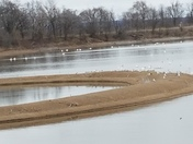 Pelicans on Avon Lake
