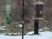 Robin at suet feeder