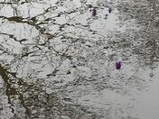 Crocus blooming despite flooded area