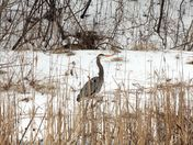 April: Great blue heron