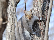Gray Squirrell