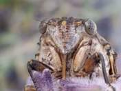 Cicada face close up