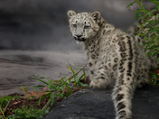 Snow Leopard Cub , Metro Zoo
