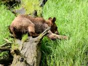 Log Straddling !
