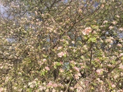 It's Apple Blossom Time in Abiquiú, New Mexico!