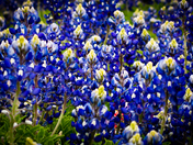 Blue Bonnets and Paint Brushes