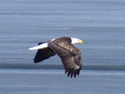 Winnisquam eagle