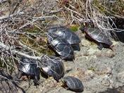 Turtles sunbathing today