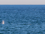 Right Whales In Marshfield.