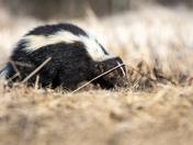 Skunk in Spring