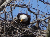 Grays Lake Eaglets Enjoying Lunchtime On A Beautiful Day