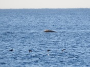 Whales and seal off Nantasket Beach