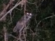 Great horned owl in park