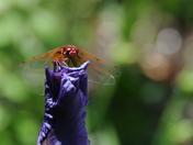 Garden Sentinel: Red Meadowlark Dragonfly