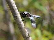 Eye to Eye: Eight Spotted Skimmer Dragonfly