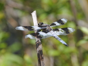 Resting: Eight Spotted Skimmer Dragonfly