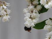 Upside Down: Western Bumblebee
