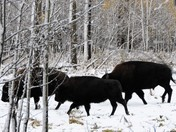 On the Move: Plains Bison